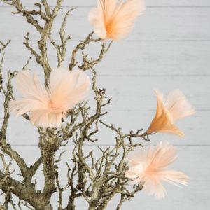 Fjäderblommor aprikos